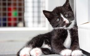 Картинка кошка, белый, взгляд, поза, котенок, фон, сетка, черно-белый, черный, портрет, лапки, светлый, малыш, окно, мордочка, …