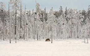 Картинка зима, лес, волк, ворон, Финляндия