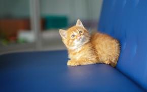 Картинка кошка, взгляд, синий, котенок, фон, диван, малыш, рыжий, мордочка, милый, котёнок, смотрит вверх, малютка