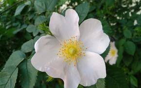 Картинка Цветок, Шиповник, Dog rose