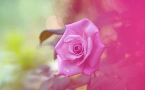 Картинка фон, нежность, роза, розочка, розовая роза
