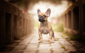 Картинка собака, мост, боке, мордашка, уши, Французский бульдог