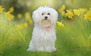 Картинка белый, цветы, природа, собака, нарциссы
