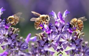 Картинка макро, свет, цветы, насекомые, пчела, пчелы, опыление, сиреневые, боке, пчелки, пчёлы, сиреневый фон, труженицы