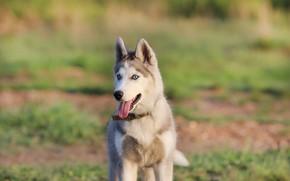 Картинка язык, фон, друг, собака, щенок, хаска