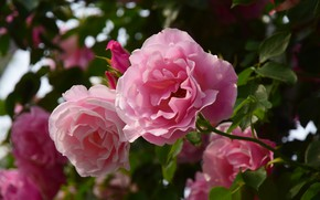 Картинка листья, цветы, розы, розовые, боке, розовый куст