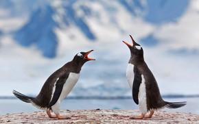 Картинка птица, пара, Антарктика, субантарктический пингвин