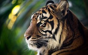 Картинка морда, тигр, портрет, профиль, дикая кошка, боке