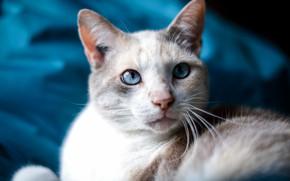 Картинка кошка, белый, кот, усы, взгляд, морда, портрет, светлый, размытие, ткань, голубой фон, котэ, голубоглазый
