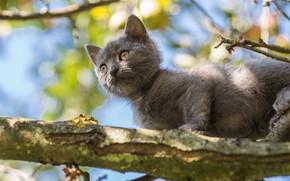 Картинка кошка, взгляд, листья, свет, поза, котенок, серый, фон, дерево, ветка, маленький, малыш, котёнок, боке