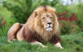 Картинка лето, трава, взгляд, морда, цветы, природа, поза, лев, грива, царь зверей, лежит, дикая кошка, выражение, …