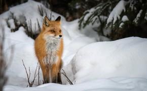 Картинка зима, снег, лиса