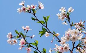 Картинка небо, ветки, apple, весна, цветение, sky, pink, blossom, spring, bloom