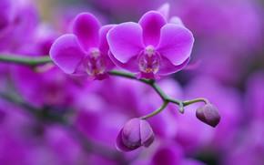 Картинка веточка, фон, бутоны, орхидея, Фаленопсис