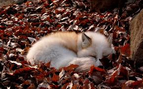 Картинка лисица, опавшая листва, свернулась клубком