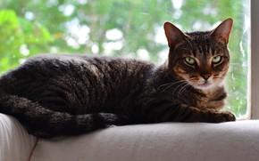 Картинка кошка, кот, взгляд, стекло, морда, поза, уют, серый, фон, окно, лежит, полосатый, боке