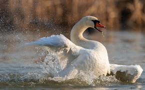 Картинка белый, вода, брызги, поза, птица, крылья, лебедь, водоем, взмах, плавание