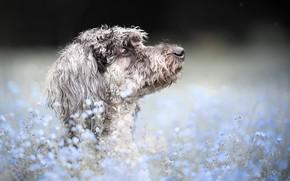 Картинка морда, цветы, фон, портрет, собака, профиль, боке, незабудки, Пудель