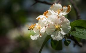 Картинка макро, цветы, пчела, ветка, весна, насекомое, белые, цветение