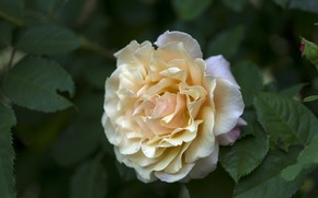 Картинка желтый, роза, лепестки