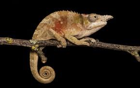 Картинка хамелеон, ветка, коричневый