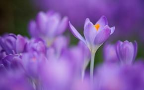 Картинка цветы, размытие, весна, крокусы, сиреневые