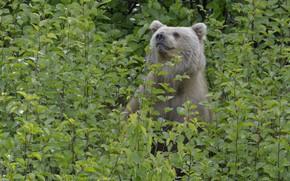 Картинка зелень, лес, природа, медведь, DUELL ©