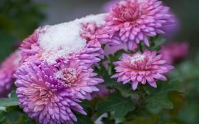 Картинка осень, снег, цветы, природа, хризантемы