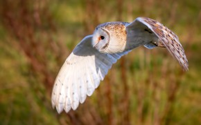Картинка фон, сова, птица, крылья, полёт, Сипуха
