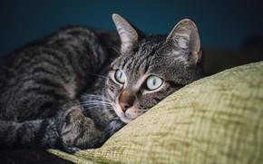 Картинка кошка, глаза, кот, взгляд, морда, темный фон, серый, портрет, лежит, подушка, полосатый, котэ, красавчик