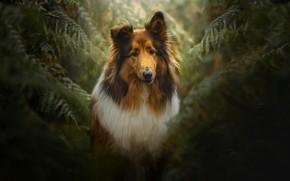 Картинка листья, темный фон, заросли, портрет, собака, папоротник, колли