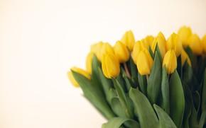 Картинка цветы, букет, желтые, тюльпаны, светлый фон