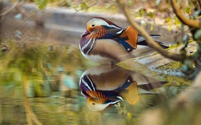 Картинка ветки, отражение, утка, водоем, боке, мандаринка