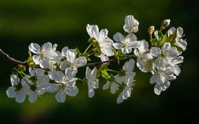 Картинка природа, вишня, ветка, цветение