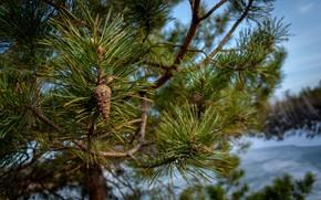 Картинка иголки, ветки, дерево, весна, шишки, сосна