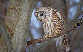 Картинка взгляд, ветки, дерево, сова, птица, ветка, неясыть