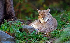 Картинка зелень, лето, трава, взгляд, природа, поза, камни, отдых, лежит, красотка, рысь, дикая кошка