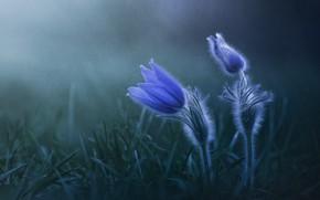 Картинка цветы, дождь, весна, синие, прострел