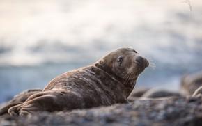 Картинка природа, животное, тюлень, детёныш