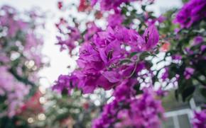 Картинка листья, свет, цветы, ветки, яркие, размытие, весна, розовые, цветение, боке, бугенвиллия