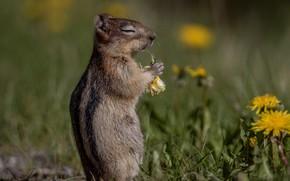 Картинка цветы, завтрак, одуванчики, боке, грызун, Бурундук