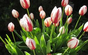 Картинка листья, солнце, тюльпаны, бутоны