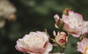 Картинка фон, розы, розовые
