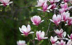 Картинка цветы, ветки, весна, розовые, цветение, зеленый фон, магнолия