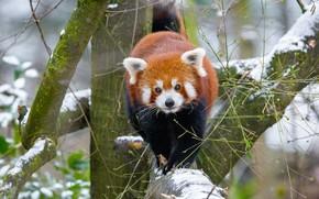 Картинка зима, взгляд, снег, ветки, природа, поза, фон, дерево, зверек, красная панда, прогулка, мордашка, малая панда, …