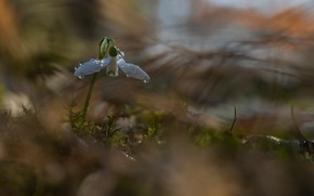 Картинка цветок, вода, капли, макро, природа, весна, первоцвет, подснежник, Дмитрий Пузенко