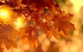 Картинка осень, листья, солнце, свет, ветки, яркий, природа, фон, настроение, листва, яркие, клён, рыжие, оранжевые, солнечно, …