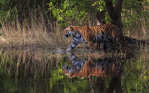 Картинка лес, трава, природа, тигр, отражение, дерево, берег, купание, прогулка, водоем