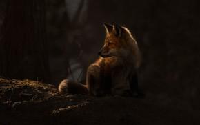Картинка лес, свет, лиса, лис, лисёнок
