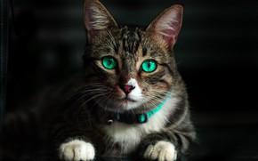 Картинка кот, усы, взгляд, лапы, мордочка, зеленые глаза
